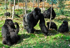 African Adventures gorillas